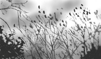 Lothar Rumold: Vögel im Geäst, 2017, Tablet-Zeichnung, 41:70